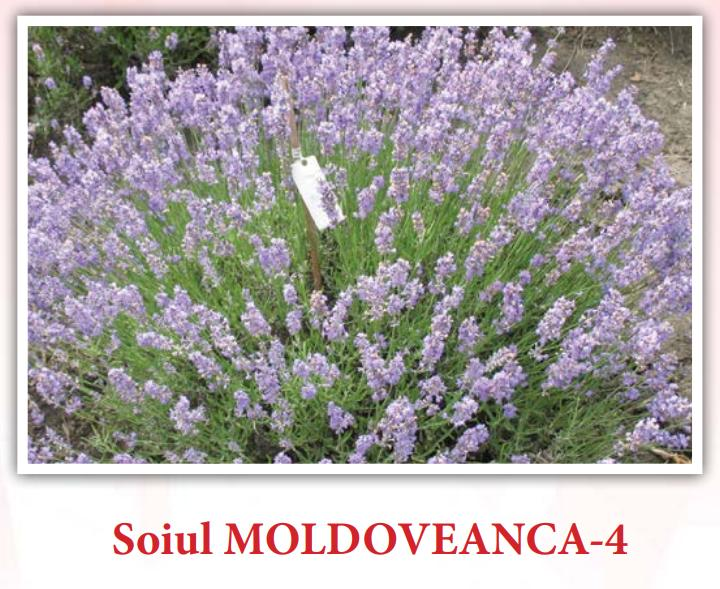 Read more about the article În realitate soiul Moldoveanca 4 produce 11,5 kg ulei esențial din tona de inflorescențe